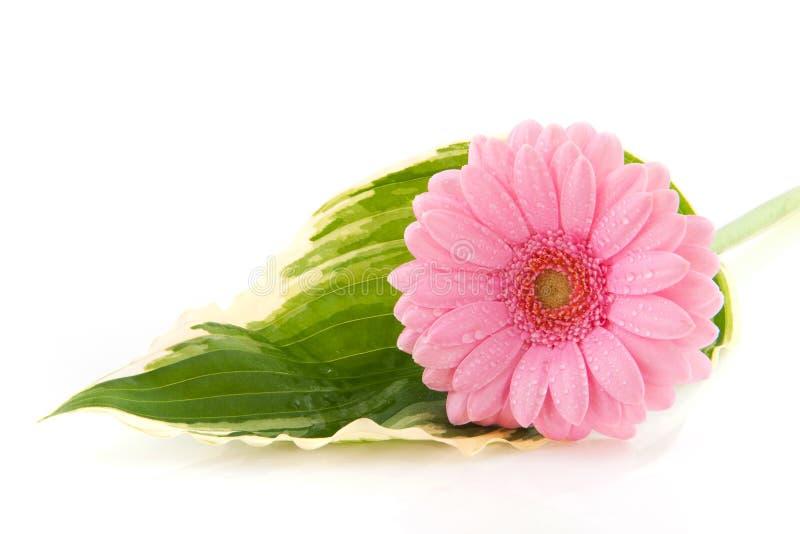 De bloem van Gerber op blad Hosta stock foto's