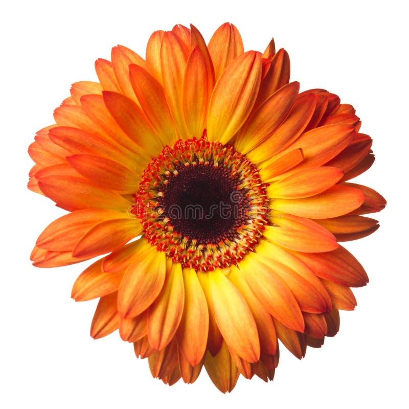 De bloem van Gerber op een wit stock foto's