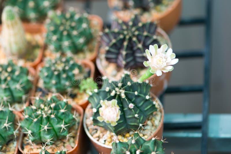 De bloem van de Gymnocalyciumcactus stock afbeeldingen