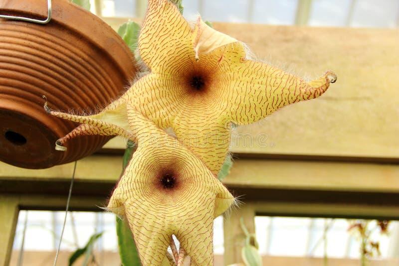 De bloem van het aas stock fotografie