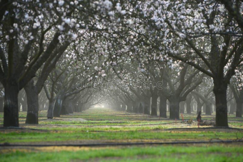 de bloem van het amandellandbouwbedrijf royalty-vrije stock afbeeldingen