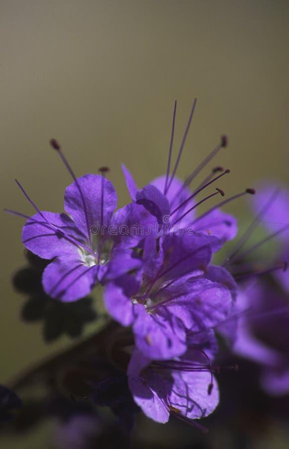 De bloem van het de inkepingsblad van de woestijn in de Vallei van de Dood stock afbeelding