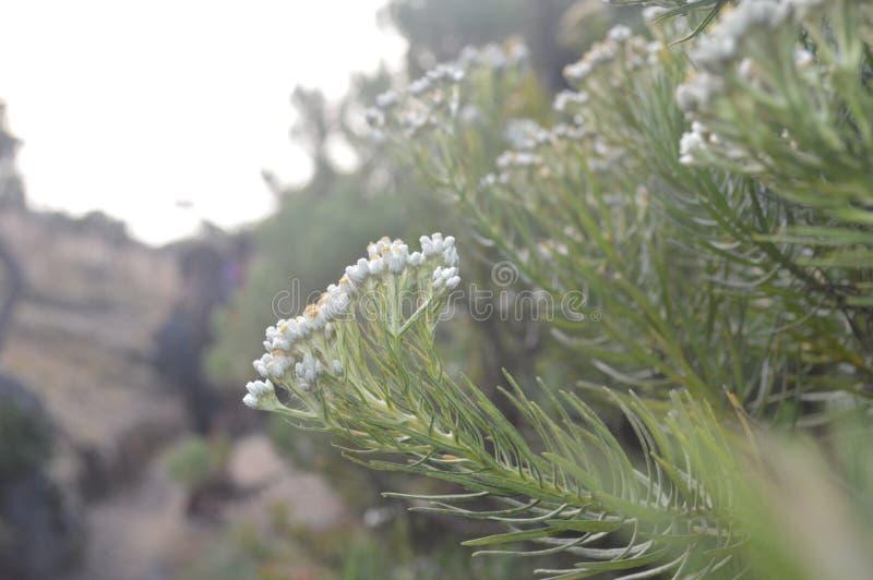 De bloem van het edelweiss stock foto