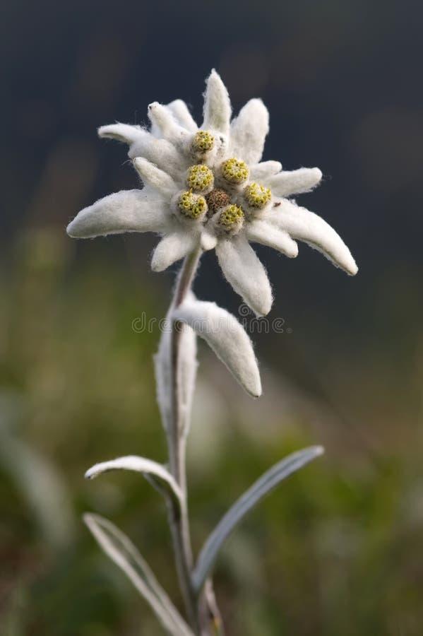 De bloem van het edelweiss royalty-vrije stock fotografie