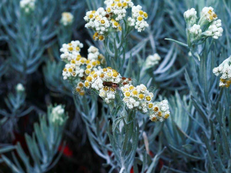 De bloem van het edelweiss stock fotografie