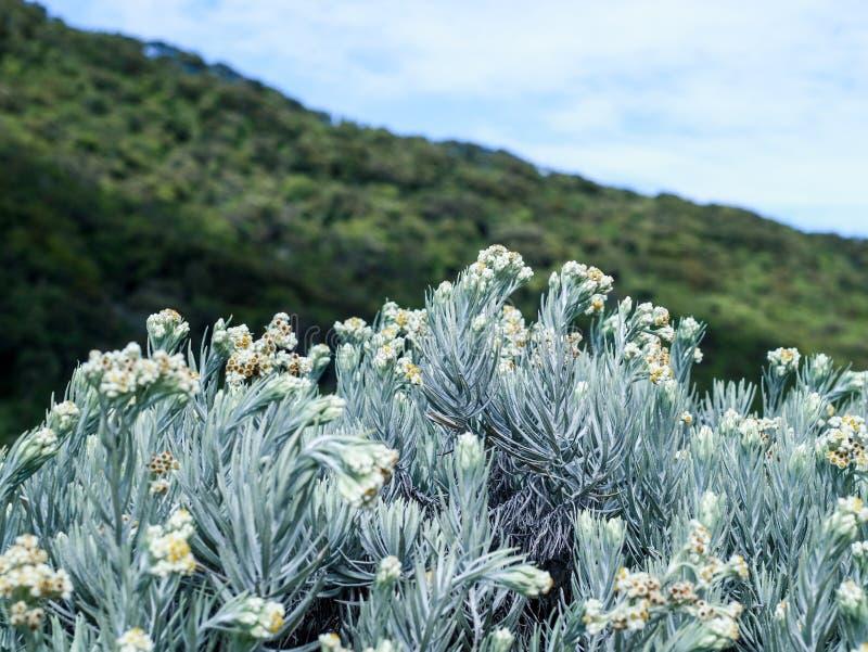 De bloem van het edelweiss royalty-vrije stock foto