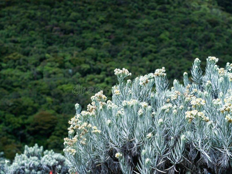 De bloem van het edelweiss royalty-vrije stock afbeelding