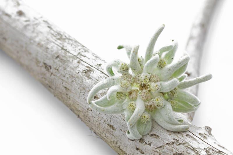 De bloem van het edelweiss op een stuk van hout stock foto's
