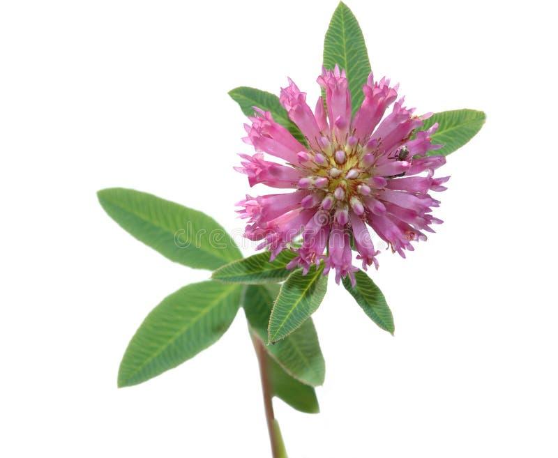 De bloem van het gebied royalty-vrije stock afbeeldingen