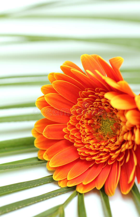 De bloem van het Gerbermadeliefje op palmblad stock fotografie