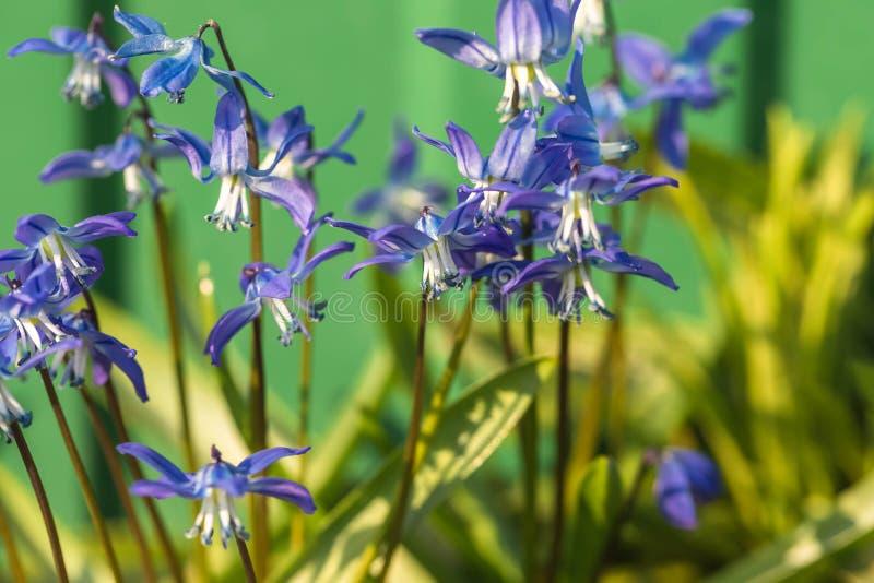 De bloem van het klokje in de aard Sluit omhoog, macro De achtergrond is onduidelijk stock afbeeldingen