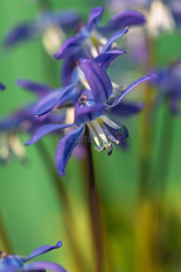 De bloem van het klokje in de aard Sluit omhoog, macro De achtergrond is onduidelijk royalty-vrije stock afbeelding
