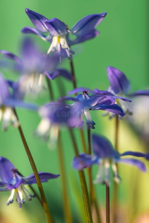 De bloem van het klokje in de aard Sluit omhoog, macro De achtergrond is onduidelijk stock afbeelding