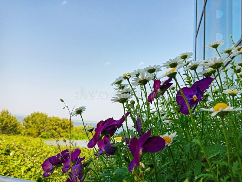 De bloem van het margrietmadeliefje in Kochia-Heuvel bij Hitachi-kustpark, Japan stock fotografie