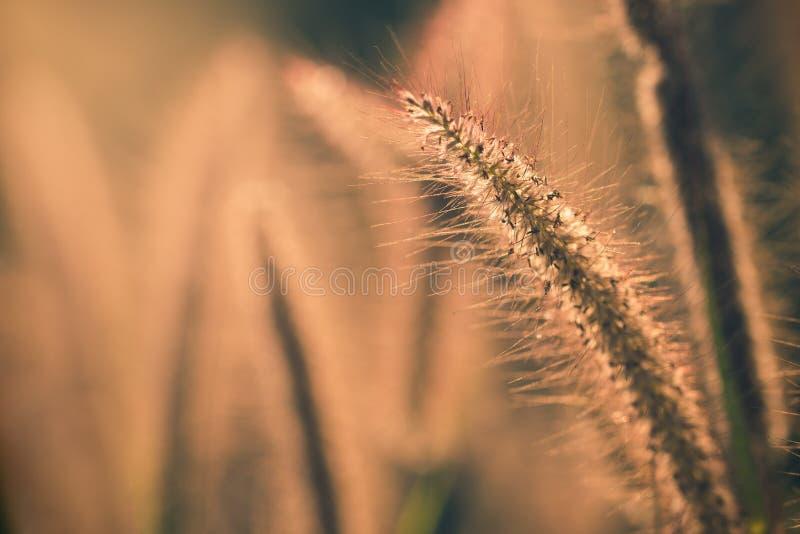 De bloem van het Poaceaegras met zonlicht in de ochtend royalty-vrije stock afbeelding