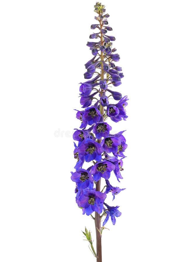 De bloem van het ridderspoor stock foto's