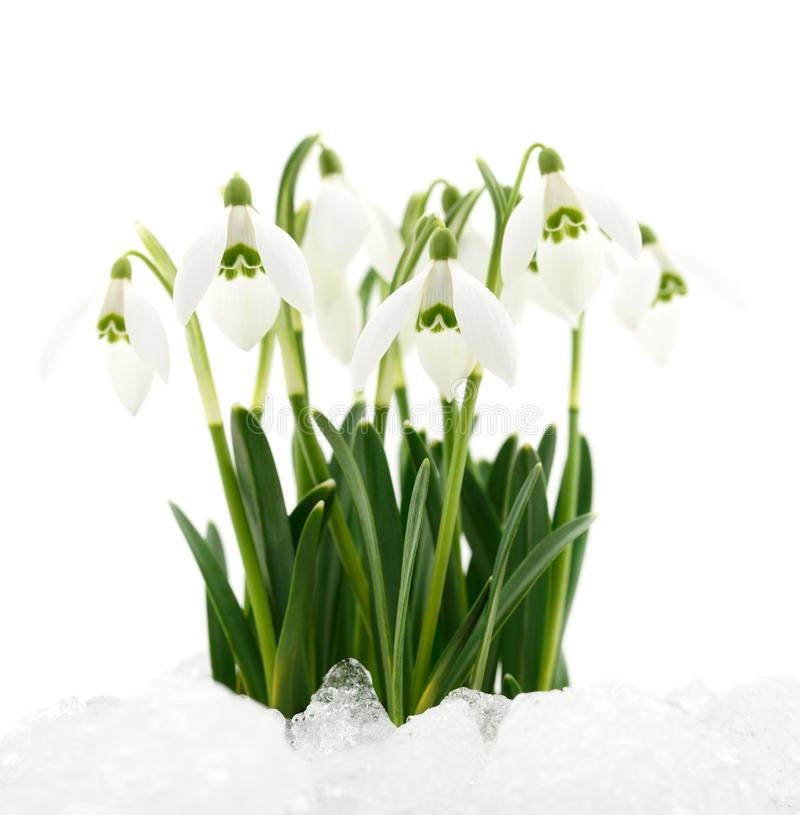 De bloem van het sneeuwklokje die op wit wordt geïsoleerdl stock foto