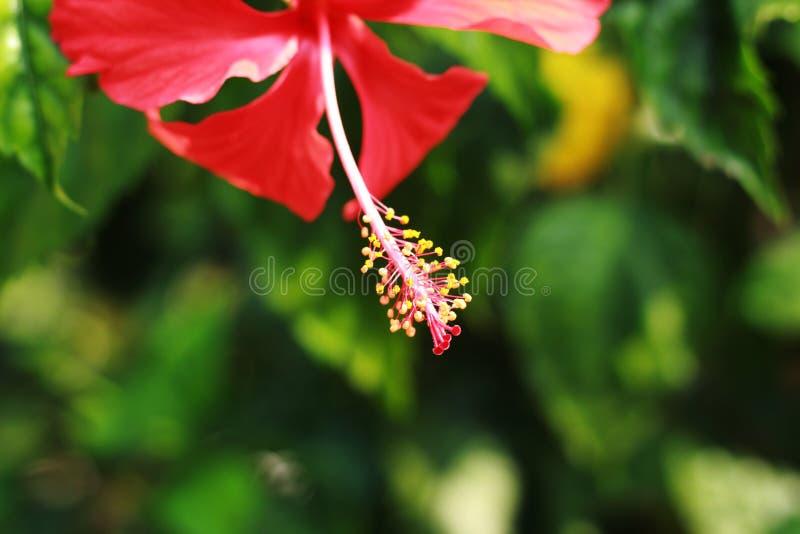 De bloem van de hibiscusmalve met een diepe achtergrond stock fotografie
