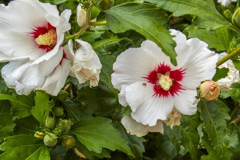De bloem van hibiscussyriacus met opzichtige columna en een kleine mier stock fotografie
