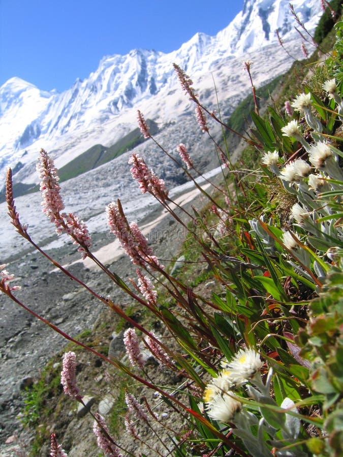 De bloem van Himalayagebergte royalty-vrije stock fotografie