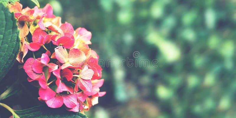 De bloem van de hydrangea hortensia in de herfst Bij de botanische tuin Bloemen de herfstachtergrond stock afbeeldingen