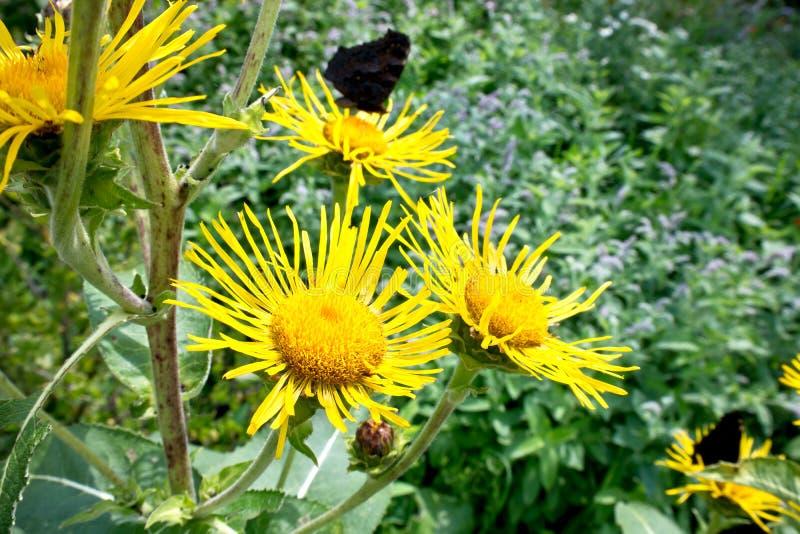 De bloem van Inula-close-up stock foto's