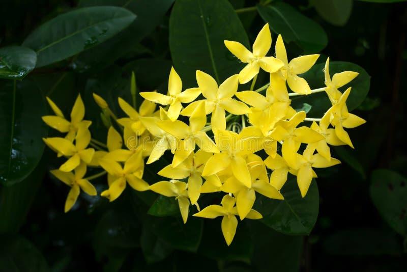 De bloem van Ixora Gele aarbloem Het bloeien chinensis Ixora van koningsIxora Rubiaceaebloem De bloem van Ixoracoccinea in de tui stock foto's