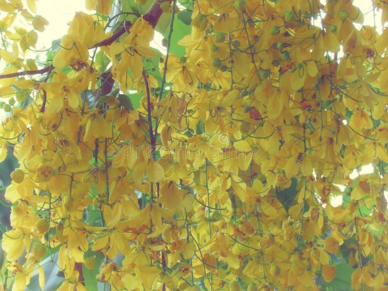 De bloem van de kassieboomfistel of de gouden douche bloeit heldere gele volledige bloei op boom royalty-vrije stock foto's