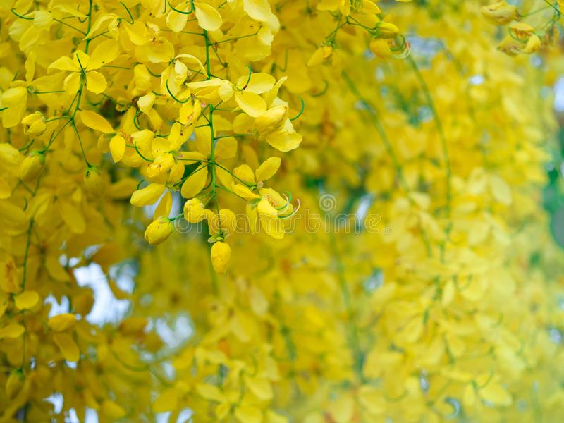 De bloem van de kassieboomfistel op Boom van de boom de Gouden Douche, bloesem die op boom met aard bloeien vertroebelde achtergr stock afbeelding