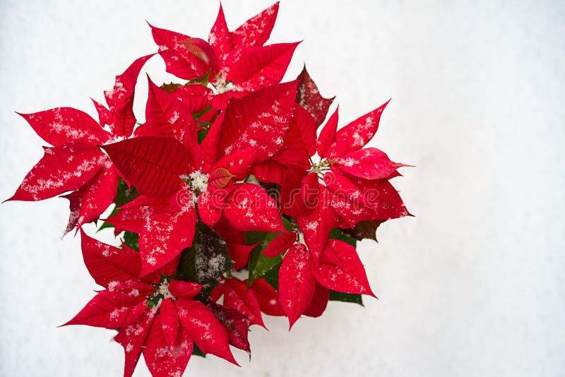 De bloem van Kerstmispoinsettia: rode bloemblaadjes en dalende sneeuwvlokken op witte sneeuwachtergrond Vrolijke Kerstmis en Gelu royalty-vrije stock foto