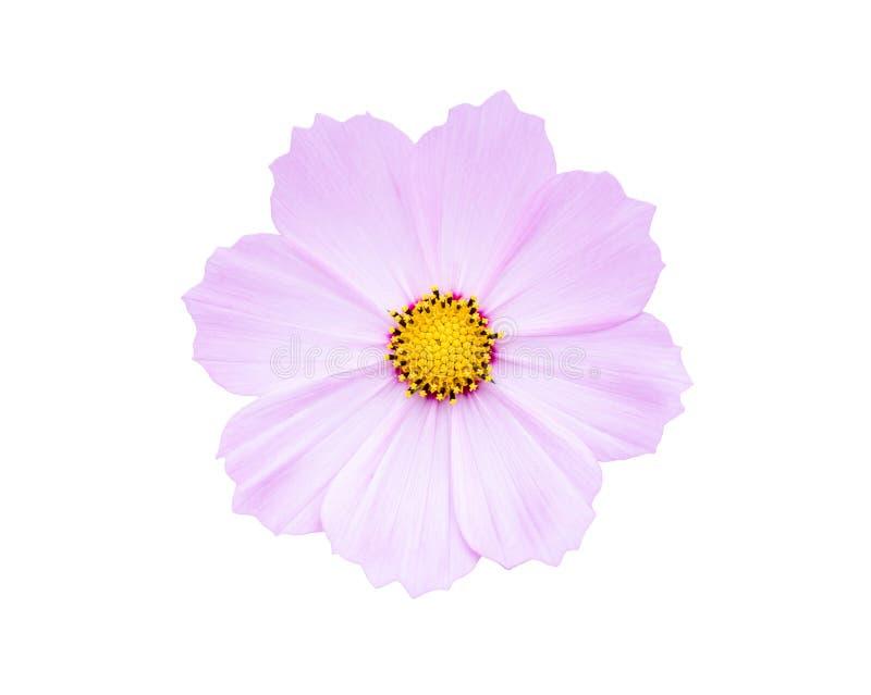 De bloem van de kosmos die op witte achtergrond wordt geïsoleerdA stock foto