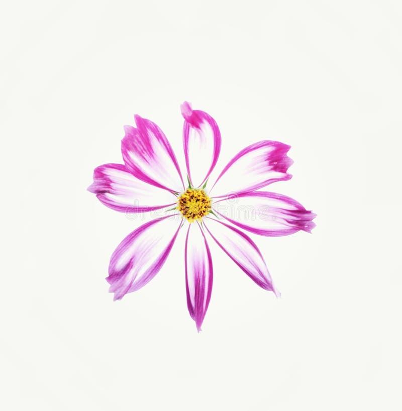 De bloem van de kosmos die op witte achtergrond wordt ge?soleerdA stock foto's