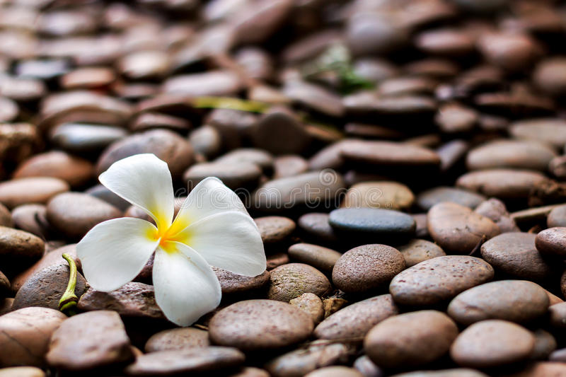 De bloem van Leelawadee royalty-vrije stock afbeeldingen
