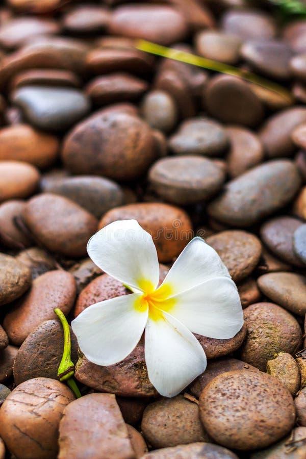 De bloem van Leelawadee stock fotografie