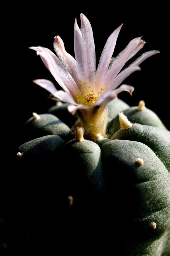De bloem van Lofofora stock foto's