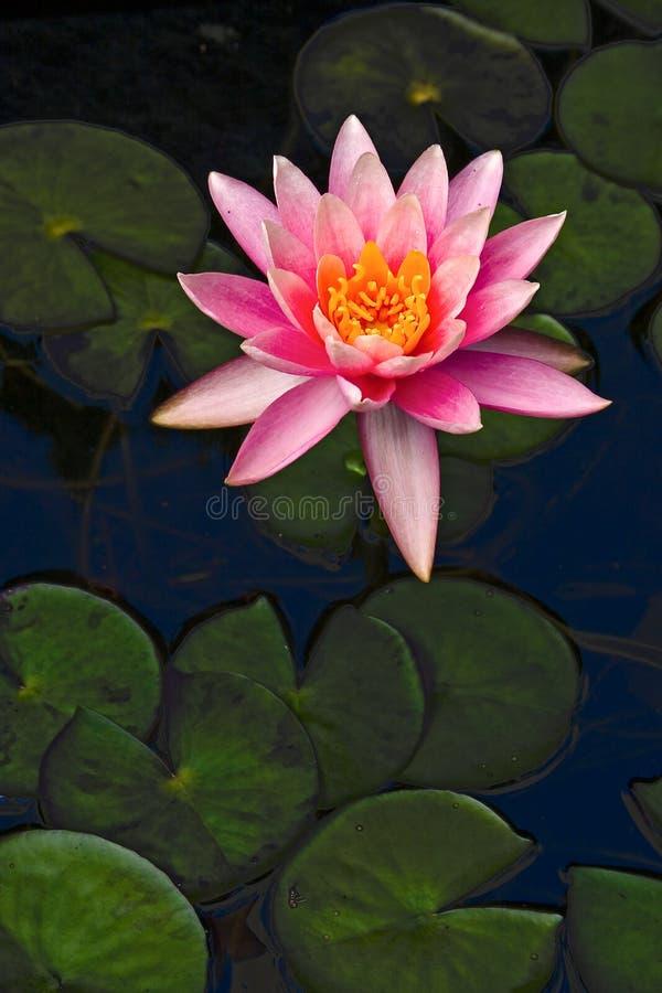 De bloem van Lotus royalty-vrije stock foto's