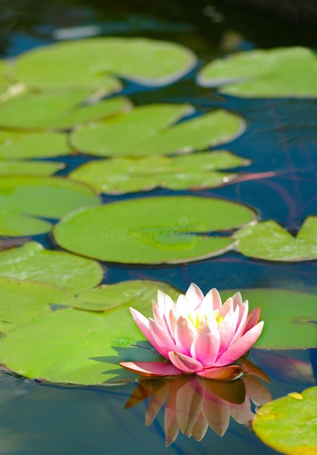 De bloem van Lotus in de vijver royalty-vrije stock foto's