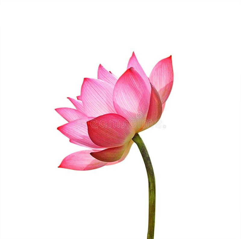 De bloem van Lotus die op witte achtergrond wordt geïsoleerdd royalty-vrije stock fotografie