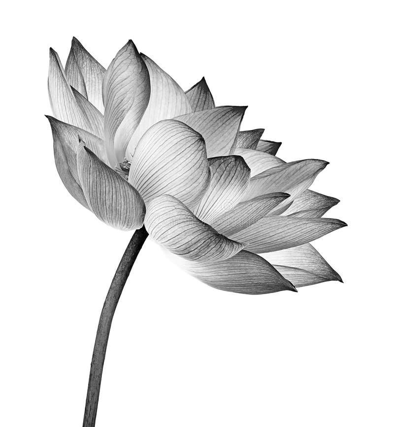 De bloem van Lotus die op witte achtergrond wordt geïsoleerdd royalty-vrije stock afbeelding