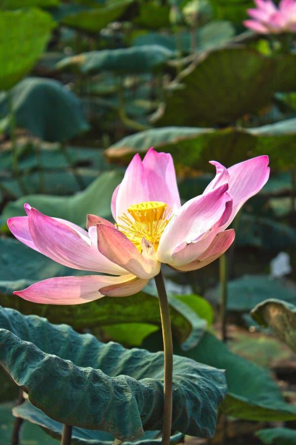 De bloem van Lotus en seedpod royalty-vrije stock foto's