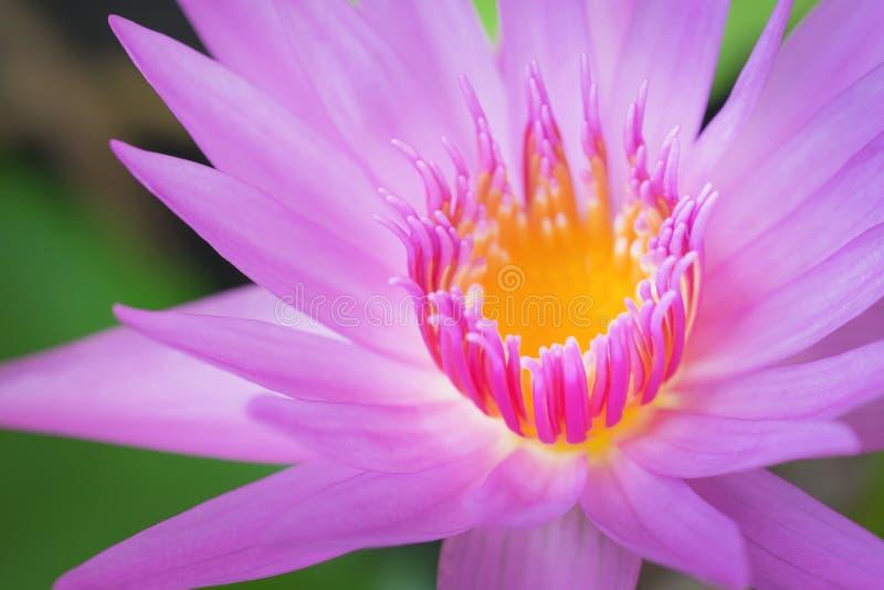 De bloem van Lotus op het water royalty-vrije stock foto's