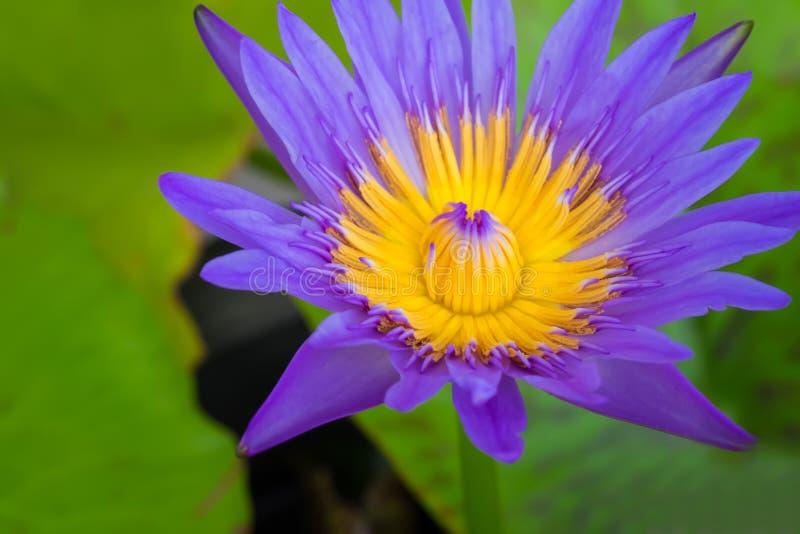 De bloem van Lotus op het water royalty-vrije stock afbeelding