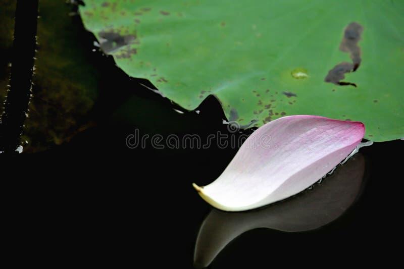 De bloem van Lotus op water stock fotografie
