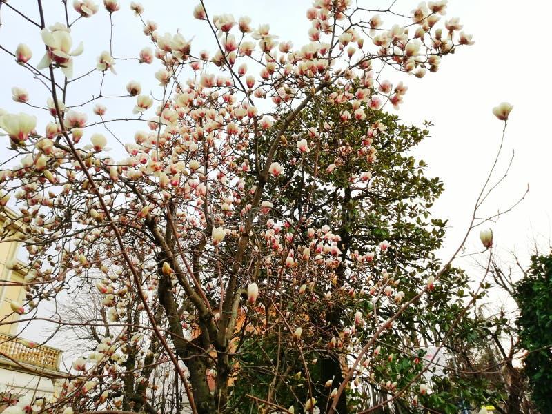 De bloem van magnolia in nadruk stock foto's