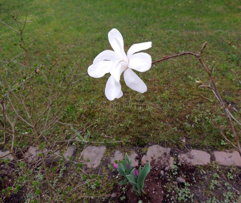 De bloem van magnoliakobus royalty-vrije stock foto