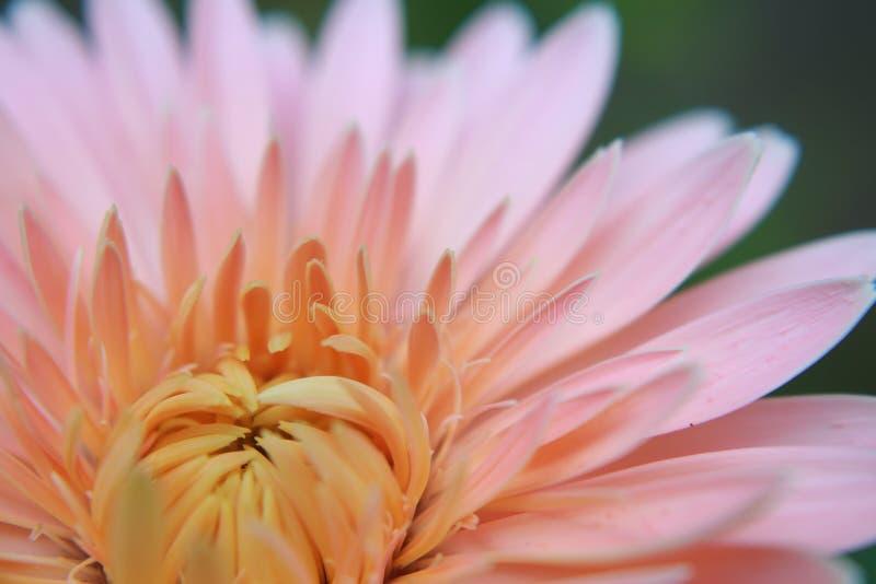 De bloem van Margaret stock afbeeldingen