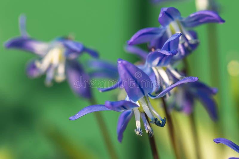 De bloem van Muskari in de aard Sluit omhoog, macro De achtergrond is onduidelijk stock afbeeldingen
