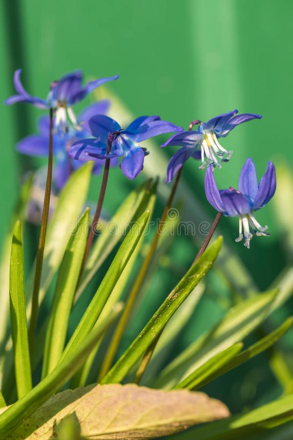 De bloem van Muskari in de aard Sluit omhoog, macro De achtergrond is onduidelijk royalty-vrije stock fotografie