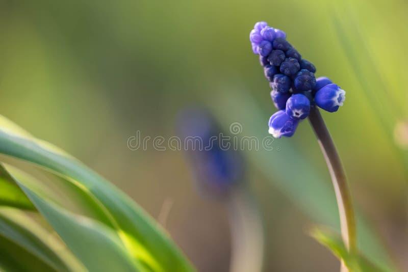 De bloem van Muskari in de aard Sluit omhoog, macro De achtergrond is onduidelijk royalty-vrije stock foto's