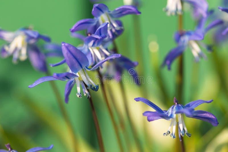 De bloem van Muskari in de aard Sluit omhoog, macro De achtergrond is onduidelijk stock foto's